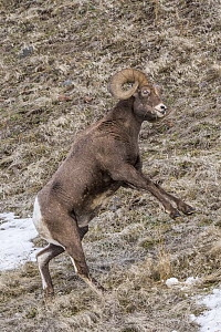 Bighorn Sheep (Ovis canadensis) ram standing about to fight, Shoshone Canyon, Wyoming  -  Dawn Y. Wilson