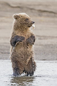 Grizzly Bear (Ursus arctos horribilis) cub playing with shell, Lake Clark National Park and Preserve, Alaska  -  Dawn Y. Wilson