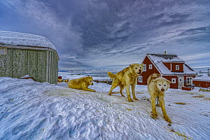 Sled Dog (Canis familiaris) group in village, Tiniteqilaaq, Iceland  -  Shane P. White