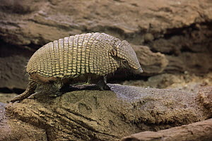 Hairy Armadillo (Chaetophractus villosus), native to South America  -  Juergen & Christine Sohns