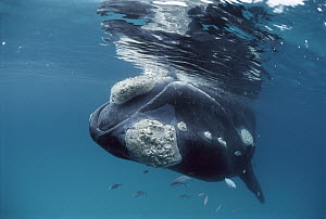 Southern Right Whale (Eubalaena australis) with callosities on head and chin, Western Australia - Mike Parry