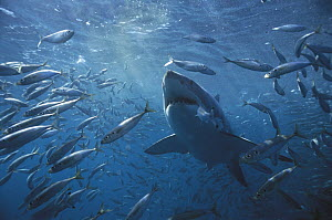 Great White Shark (Carcharodon carcharias) swimming through school of fish, Neptune Islands, Australia  -  Mike Parry