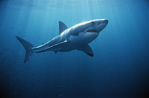 Great White Shark (Carcharodon carcharias) swimming underwater, Neptune Islands, South Australia  -  Mike Parry