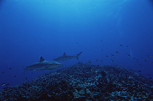 Silver-tip Shark (Carcharhinus albimarginatus) pair, New Ireland, Papua New Guinea  -  Mike Parry