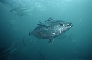 Southern Bluefin Tuna (Thunnus maccoyii) school underwater, South Australia - Mike Parry