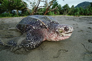 Leatherback Sea Turtle (Dermochelys coriacea) on land, Huon Gulf, Papua New Guinea, critically endangered - Mike Parry