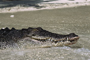 Saltwater Crocodile (Crocodylus porosus) resting on beach with water washing over, Oro Bay, Papua New Guinea  -  Mike Parry
