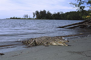 Saltwater Crocodile (Crocodylus porosus) crawling out of water onto beach, Oro Bay, Papua New Guinea  -  Mike Parry