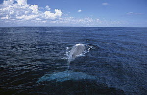 Pygmy Blue Whale (Balaenoptera musculus brevicauda) swimming at surface, Southern Ocean, Australia  -  Mike Parry
