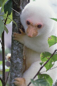 Spotted Cuscus (Phalanger maculatus) in tree, Papua New Guinea - Mark Moffett