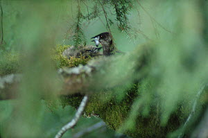 Marbled Murrelet (Brachyramphus marmoratus marmoratus) parent feeding chick in canopy nest, Oregon  -  Mark Moffett