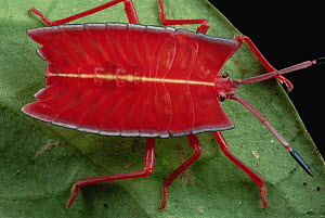 Red Stink Bug (Pycanum rubeus), Brunei, Borneo  -  Mark Moffett