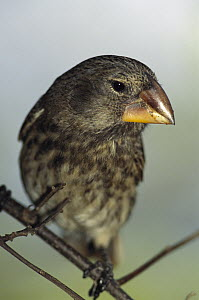 Large Ground Finch (Geospiza magnirostris) endemic species, extra large bill for cracking large seeds, largest of Darwin's 13 Finches, Santiago Island, Galapagos Islands, Ecuador  -  Mark Moffett