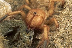 Wind Scorpion (Eremorhax joshui) adult female feeding on a lizard it has killed, Mojave Desert, California - Mark Moffett