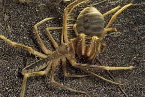 Wind Scorpion (Galeodidae) male at left lunges at a female tearing her body and damaging her legs before mating, desert, Iran - Mark Moffett