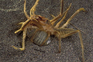 Wind Scorpion (Galeodidae) male at left grabs and twists female prior to mating, desert, Iran - Mark Moffett
