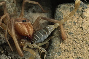 Wind Scorpion (Chanbria sp) feeds on a Sand Scorpion (Paruroctonus sp), Algodones Dunes, southern California - Mark Moffett
