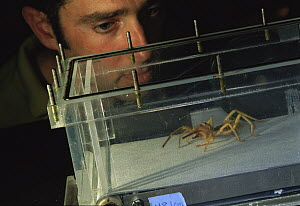 Wind Scorpion (Galeodidae) runs on a treadmill under the watchful eye of biologist Kellar Autumn, Lewis and Clark College, Portland, Oregon - Mark Moffett