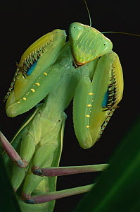 African Praying Mantis (Sphodromantis lineola) female, Africa  -  Mark Moffett
