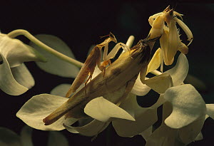 Orchid Mantid pair courting, Malaysia  -  Mark Moffett