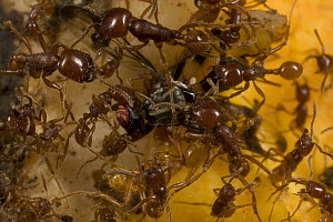 Semi-vegetarian army ant (Labidus coecus) swarm catches, quickly kills and dismembers a fruit fly that accidentally landed in their midst, Barro Colorado Island, Panama - Mark Moffett