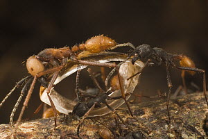 Army Ant (Eciton burchellii) workers carrying section of dismembered prey back to nest, Barro Colorado Island, Panama - Mark Moffett