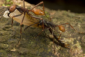 Army Ant (Eciton burchellii) workers carry section of dismembered prey back to feed colony, Barro Colorado Island, Panama - Mark Moffett