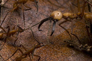 Army Ant (Eciton burchellii) soldier is cornered by workers of rival Army Ant (Eciton hamatum) species - Mark Moffett