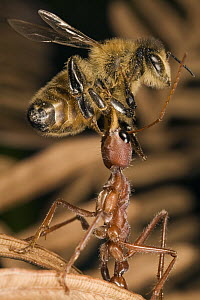 Bulldog Ant (Myrmecia gulosa) worker catching Honey Bee (Apis mellifera), eastern Australia  -  Mark Moffett