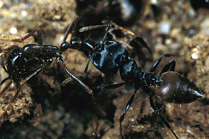 Carpenter Ant (Camponotus sp) carrying dead army ant, Nigeria - Mark Moffett