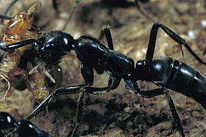 Ant (Pachycondyla sp) carrying termite back to nest, Nigeria - Mark Moffett