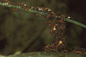 Army Ant (Eciton hamatum) colony forming a bridge by climbing over each other, some are carrying food back to nest, Barro Colorado Island, Panama - Christian Ziegler