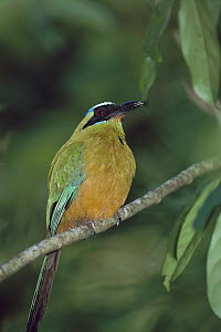 Blue-crowned Motmot (Momotus momota conexus) perching on tree branch, Barro Colorado Island, Panama  -  Christian Ziegler
