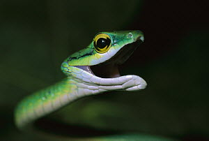 Parrot Snake (Leptophis ahaetulla) with open mouth, Barro Colorado Island, Panama  -  Christian Ziegler