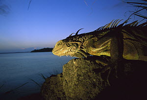 Green Iguana (Iguana iguana) portrait of female overlooking breeding colony on small Island in Lake Gatun, Barro Colorado Island, Panama - Christian Ziegler