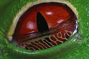 Red-eyed Tree Frog (Agalychnis callidryas), the golden webbed skin is a nictitating membrane, part of the eye lid and enables the frog to see without giving up its camouflage - Christian Ziegler
