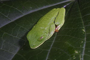 Red-eyed Tree Frog (Agalychnis callidryas) on a leaf, in the daytime this species is well camouflaged when it folds all colorful parts under, Soberania National Park, Panama  -  Christian Ziegler