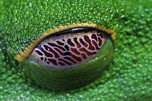 Red-eyed Tree Frog (Agalychnis callidryas) eye covered with nictating membrane  -  Christian Ziegler
