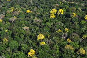 Bignonia (Tabebuia sp) trees flowering in the Canal Zone, tropical forest canopy in Soberania National Park, Panama  -  Christian Ziegler
