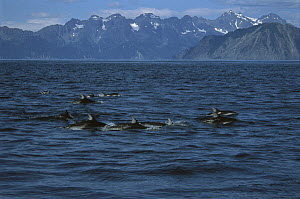 Pacific White-sided Dolphin (Lagenorhynchus obliquidens) pod surfacing, Kenai Fjords National Park, Alaska  -  Suzi Eszterhas