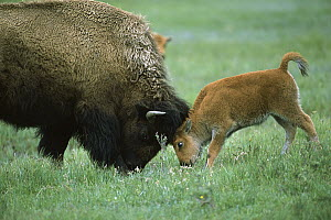 American Bison (Bison bison) cow and calf playing, Yellowstone National Park, Montana - Suzi Eszterhas