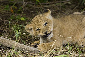 African Lion (Panthera leo) five week old cubs playing with an adult pride member's tail, vulnerable, Masai Mara National Reserve, Kenya - Suzi Eszterhas