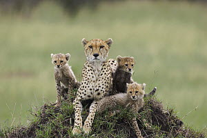 Cheetah (Acinonyx jubatus) mother and eight to nine week old cubs, Maasai Mara Reserve, Kenya  -  Suzi Eszterhas