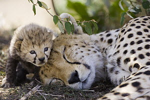 Cheetah (Acinonyx jubatus) mother and seven day old cub, Maasai Mara Reserve, Kenya  -  Suzi Eszterhas