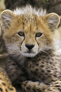 Cheetah (Acinonyx jubatus) ten to twelve week old cub portrait, Maasai Mara Reserve, Kenya  -  Suzi Eszterhas