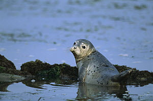 Harbor Seal (Phoca vitulina) pup in shallows, Elkhorn Slough, California  -  Suzi Eszterhas