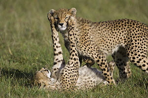 Cheetah (Acinonyx jubatus) 7 to 9 month old cubs playing, Masai Mara National Reserve, Kenya  -  Suzi Eszterhas