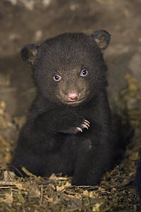 Black Bear (Ursus americanus) 7 week old cub in den - Suzi Eszterhas