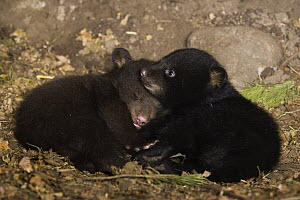 Black Bear (Ursus americanus) 7 week old cubs playing in den. One cub shows brown color phase while the other shows black color phase  -  Suzi Eszterhas
