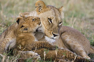 African Lion (Panthera leo) mother and young cubs, approximately 8 weeks old, vulnerable, Masai Mara National Reserve, Kenya  -  Suzi Eszterhas